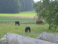 Pferde auf der Koppel 2