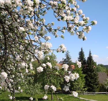 Apfelblüte in Neuweiler