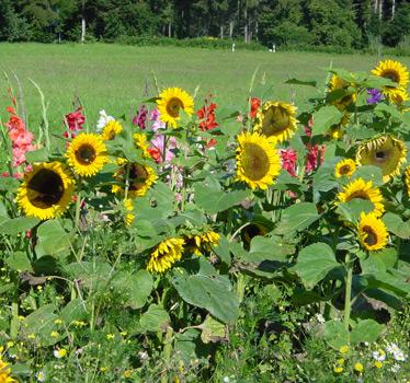Sonnenblumenfeld in Zwerenberg