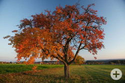 Ein Apfelbaum mit buntem Herbstlaub. Weit im Hintergrund der Ort Zwerenberg.
