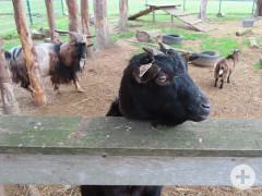 Eine Ziege schaut über den Zaun. Im Hintergrund weitere Ziegen im Gehege.