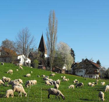 Schafherde mit Blick auf die Kirche Neuweiler
