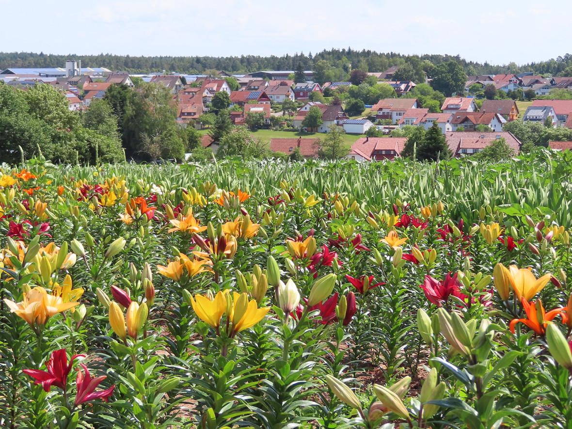 Blühendes Lilienfeld mit Blick auf Neuweiler