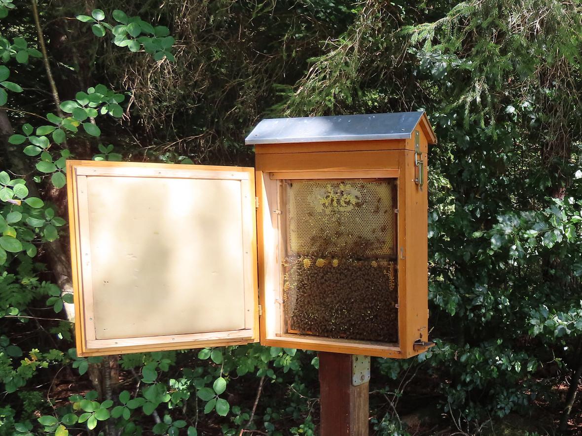 Durch die Glasscheibe am Schaukasten kann man die Bienen beobachten. Die Königin ist mit einem roten Punkt markiert.