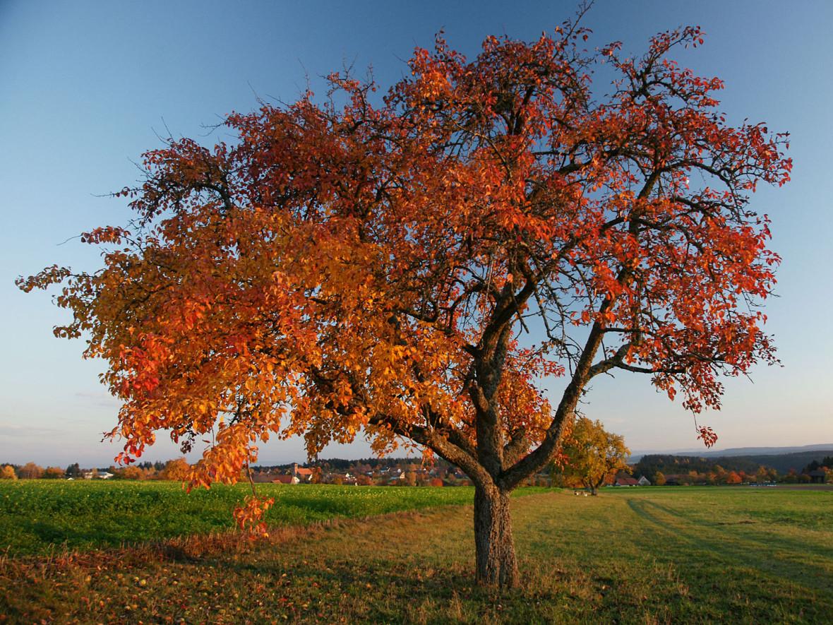 Apfelbaum mit bunt gefärbtem Herbstlaub steht auf der grünen Wiese. Weit im Hintergrund sieht man den Ort Zwerenberg mit blauem Himmel.